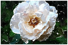 Danket ihm, er ist verschieden (amras_de) Tags: rose rosen ruža rosa ruže rozo roos arrosa ruusut rós rózsa rože rozes rozen roser róza trandafir vrtnica rossläktet gül blüte blume flor cvijet kvet blomst flower floro õis lore kukka fleur bláth virág blóm fiore flos žiedas zieds bloem blome kwiat floare ciuri flouer cvet blomma çiçek zeichnung dibuix kresba tegning drawing desegnajo dibujo piirustus dessin crtež rajz teikning disegno adumbratio zimejums tekening tegnekunst rysunek desenho desen risba teckning çizim