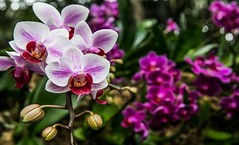 Decorated your home with beautiful #flowers 10%off bring today  =========== ➡️Our Store 🌐www.orchidgirls.com =========== #orchid #plants #nature #newyork  #flower #frangipani #plant #petal #pink #floweringplant #terrestrial (Orchid Girls and Plants) Tags: beautiful floweringplant wildflower geranium newyork flowermagic flowerstylesgf nature botanical flowerporn impatiens instablooms woodsorrelfamily blooms florals pink flower plant flowerstagram photography petal terrestrialplant frangipani plants summer orchid love blossom spring floral pretty flowersofinstagram flowers
