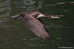 Cormorano_022 (Rolando CRINITI) Tags: cormorano uccelli uccello birds ornitologia avifauna polcevera genova natura