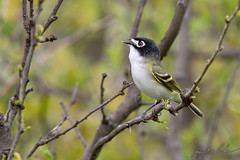 Black-capped Vireo (Jay Packer) Tags: blackcappedvireo taylorcounty unitedstatesofamerica amniota aves reptilia northamerica archosauromorpha chordata texas vireonidaevireos animalia diapsida vertebrata passeriformes tetrapoda animals birds vireoatricapilla