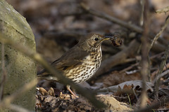 IMG_8073 (PM's photography) Tags: bird wildlife photography nature animal kos backbird ptak woods forest tree canon 7d eos tamron 150600g2