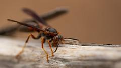 On the Driftwood (Ken Krach Photography) Tags: wasp