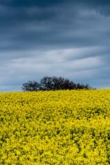 GialloBlu (luca_pictures) Tags: marche italy campo campagna agricoltura cielo nuvole giallo primavera