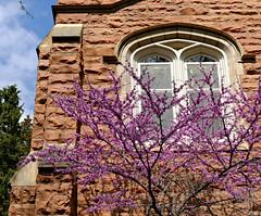 Blossoms on a Redbud Tree (Colorado Sands) Tags: spring blossoms tree flowers blossoming flowering boulder colorado usa sandraleidholdt universityofcolorado universityofcoloradoatboulder springtime redbud sandstone campus