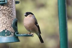 Mrs Bullfinch (roger_forster) Tags: pyrrhulapyrrhula bullfinch female wild bird alverstoke gosport hampshire hiwwt garden feeder feeding