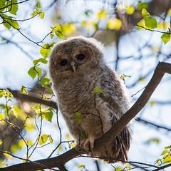 Young Tawny Owl (Denis Roschlau Photography) Tags: tawnyowl owl young ästling jungtier jungvogel kauz waldkauz eule vogel strixaluca brownowl munich münchen park nymphenburg bird birds tree branch ast kleinsmall