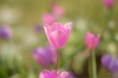 Elegance... (KissThePixel) Tags: tulips tulip pinktulips helios helios44m 58mm bokeh bokehlicious pink flowers flower macro makro spring garden april meadow springmeadow beautiful beautifulday nikon nikondf