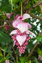 Medinilla (yc4646) Tags: magnoliophyta magnoliopsida melastomataceae angiospermes dicots dicotylédones floweringplants medinilla melastomas phanérogames plantesàfleurs plantesàfruits plants singapore