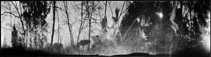 April forest (batuda) Tags: panorama anamorphic anamorph can coffeecan 360 ilford ilfospeed 6x21 d76 11 9950f bw landscape nature forest wood tree trees sun sky hepatica šešuva turžėnai wind