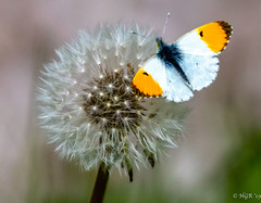 Photo of Orange tip butterfly