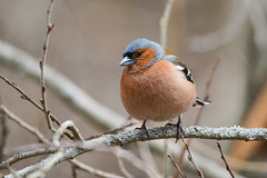 Зяблик (Yuriy Kuzmenok) Tags: птицы птица природа зяблик