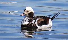 Long-tailed Duck male (Lois McNaught) Tags: longtailedduckmale duck bird avian nature wildlife hamilton ontario canada reflection waterfowl