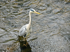 Heron in the river Dodder (turgidson) Tags: p1290649 panasonic lumix dmc g7 panasoniclumixdmcg7 panasonicg7 micro four thirds microfourthirds m43 g lumixg mirrorless x vario 35100mm 35100 f28 hhs35100 telephoto zoom lens panasonic35100 panasoniclumixgxvario35100mmf28 silkypix developer studio pro 9 silkypixdeveloperstudiopro9 raw grey heron greyheron ardea cinerea ardeacinerea longlegged predatory wading bird ardeidae nature wildlife milltown dublin ireland dodder valley linear park river clonskeagh animal water