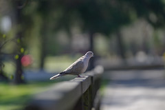 If I relax enough the rest of the world melts away (Paul Wrights Reserved) Tags: dove bird birds birding birdwatching birdphotography bokeh bokehphotography bokehballs bokehlicious dof focus outoffocus animal animals leadinglines leading