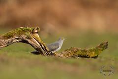 20190415-D4S_1132 (Bartek Olszewski) Tags: birds ptaki bird kukulka wood wildlife wild woods wings nature nikon natura nikond4s