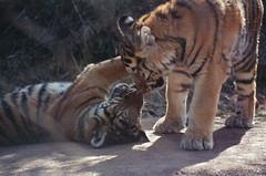 Let the battle begin (radargeek) Tags: film 35mm 2018 april okczoo oklahomacity oklahoma okc zoo tiger cubs