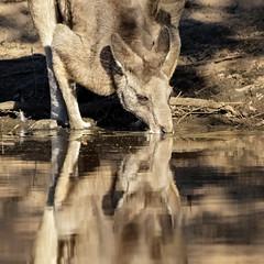 50 Shades of Brown (Square crop) 2019-04-12 (7D_182A7418) (ajhaysom) Tags: easterngreykangaroo providencedam woodlandshistoricpark greenvale melbourne australia canoneos7dmkii tamron150600mmf563divcusdg2