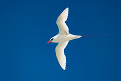 Red-tailed Tropicbird | Sand Island | Midway Atoll|2019-01-31|18-14-05