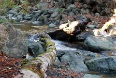 2009.10.24-018 (MrBigDog2k) Tags: trees avenueofthegiants redwoods creeks