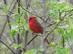 bright spring cardinal (Cheryl Dunlop Molin) Tags: northerncardinal malecardinal birdsofindiana bird passerine
