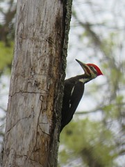 pileated woodpecker in spring (Cheryl Dunlop Molin) Tags: woodpecker bird birdsofindiana pileatedwoodpecker