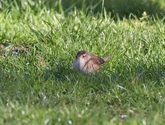 Marsh wren (Goggla) Tags: unionsquare marshwren nyc new york manhattan urban wildlife bird marsh wren spring migration 2019
