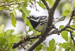 Black-throated Gray Warbler (Jerry Ting) Tags: delvalleregionalpark livermore california blackthroatedgraywarbler male