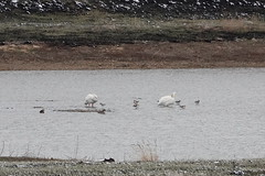American White Pelicans and American Avocets (Boulder Flying Circus Birders) Tags: americanwhitepelican pelecanuserythrorhynchos americanwhitepelicancolorado americanwhitepelicanboulder americanavocet recurvirostraamericana americanavocetcolorado americanavocetboulder wildbirdboulder wildbirdcolorado boulderflyingcircusbirders freebirdwalk naturehike birdwatchinggroup birdinggroup saturdaymorningbirders birdphotography naturephotography stevefrye
