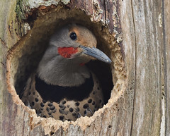 Northern flicker (spensersmith) Tags: northernflickr woodpecker nanaimo britishcolumbia canada birds