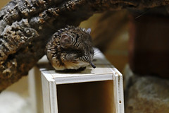 Rüsselspringer (Michael Döring) Tags: gelsenkirchen bismarck zoomerlebniswelt zoo rüsselspringer tc17eii afs200mm20gvrii d850 michaeldöring