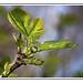 Le figuier : La figue ne tombe jamais en plein dans la bouche. Prov Kabyle