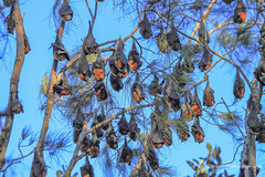 Grey headed Flying Foxes (Peter.Stokes) Tags: australia australian colour landscape nature outdoors animals photo countryside fauna wildlife landscapes photography flyingfoxes flying flight bats