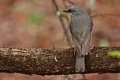 Eastern Yellow Robin (Rodger1943) Tags: robins easternyellowrobin australianbirds sonyrx10m4
