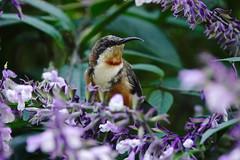 Eastern Spinebill (Rodger1943) Tags: sonyrx10m4 spinebills easternspinebill australianbirds honeyeaters
