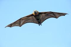 Grey-headed Flying-fox (0ystercatcher) Tags: greyheadedflyingfox pteropuspoliocephalus bat mammal panboola pambula nsw australia taxonomy:common=greyheadedflyingfox taxonomy:binomial=pteropuspoliocephalus geo:country=australia