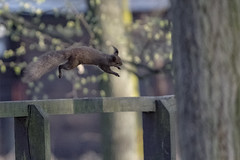 Defy gravity (Paul Wrights Reserved) Tags: gravity squirrel squirrels cool amazing wow fantasticnature fantastic nature mothernature mammal mammals cute acrobat acrobatics animal animals jump jumping running jumpingsquirrel runningsquirrel wildlife wildlifephotography wildanimal action actionphotography