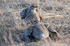 IMG_7452 sharptail grouse (starc283) Tags: prairie grouse sharp sharptail starc283 bird birding birds lek mating flicker flickr explore sharptailgrouse