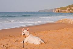 White Rocks Portrush (Deirdre Gregg) Tags: portrush sea coast golf irish open beach causeway ireland waves bushmills dougal dog westie west highland terrier