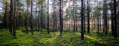 Some 50years ago planted pine forest in Jurmo 🌴🌴 (Esa Suomaa) Tags: jurmo islands island suomi finland saaristo saaristomeri scandinavia europe pine pinewood forest trail path olympusomd