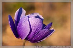 Anémone (clamar18) Tags: anémone fleurs bleu mauve jardin mérysurcher vierzon flower france fleursetplantes macro canon