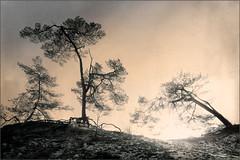 Sunset (Eva Haertel) Tags: eva haertel canon5dmarkiii natur nature landschaft landscape woodland trees bäume pinetrees old alt verformt deformed winter schnee snow season wurzeln root himmel sky horizont horizon holland niederlande netherlands sonne sun sonnenlicht sunlight monochrom silhouette struktur structure hügel hill