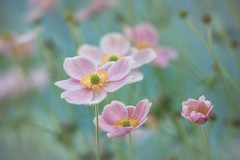 Fearless & Free (Anna Kwa) Tags: japaneseanemone anemonepinksaucer flowers macro bokeh nature annakwa nikon d750 1050mmf28 my fearless free live always seeing heart soul throughmylens life jounney fate destiny rachaellippincott fivefeetapart dontgiveuponme andygrammar