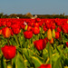 World Famous Dutch Tulip Feilds on Route to Den Helder..