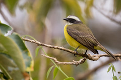 Social Flycatcher (KarsKW) Tags: nature photography karskw kars klein wolterink costa rica cr february 2019 animals wildlife canon eos 750d