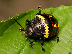 Platyphora sp. (Eerika Schulz) Tags: platyphora käfer beetle ecuador puyo eerika schulz