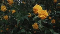 IMG_20190418_132715_mix01_mix01 (guangxu233) Tags: flower