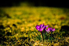 Spring Flowers (Nicholas Erwin) Tags: flowers bokeh pretty grass nature closeup contrast depthoffield dof spring outside sunny naturephotography fujifilmxt2 fujixt2 xf60mmf24rmacro xf60 6024 fujixf6024 waterbury vermont vt unitedstatesofamerica usa america crocuses fav10 fav25