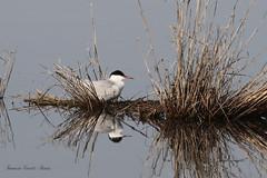 Sterna al nido - Sterna hirundo (francescociccotti1) Tags: