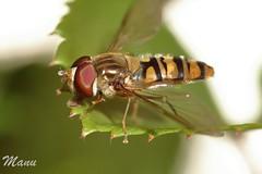 MOSCA (CERNIDORA) (manu691) Tags: mosca insecto cernidora