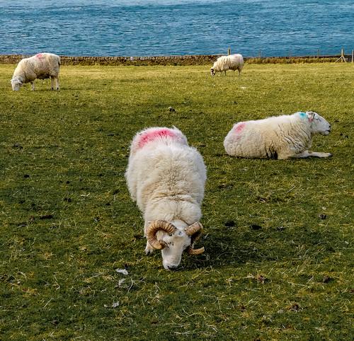 Sheep, Oban